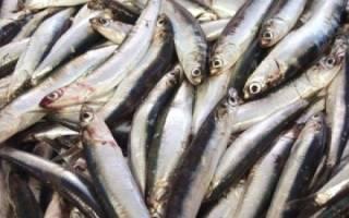 Что за рыба анчоус